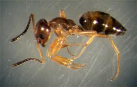 Odorous Ants: Odorous House Ant Control & Identification
